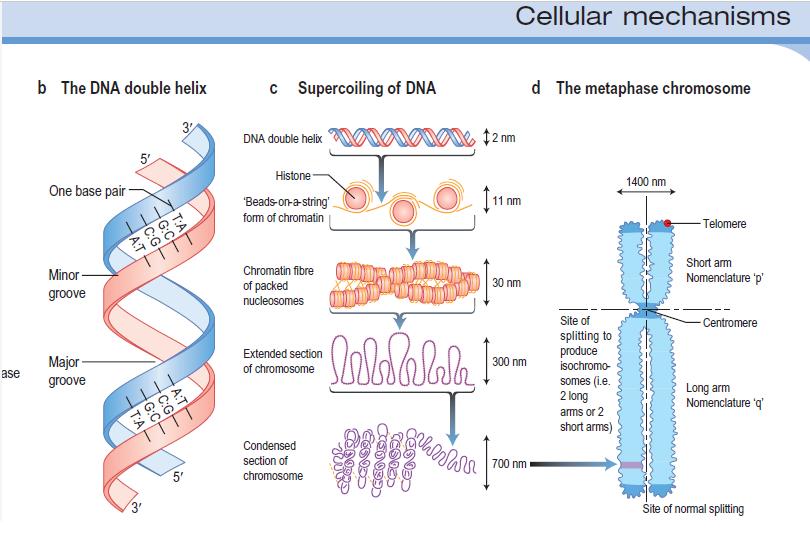 dna relationship to human chromosomes medical estudy polynucleotide structure polynucleotide structure polynucleotide structure polynucleotide structure