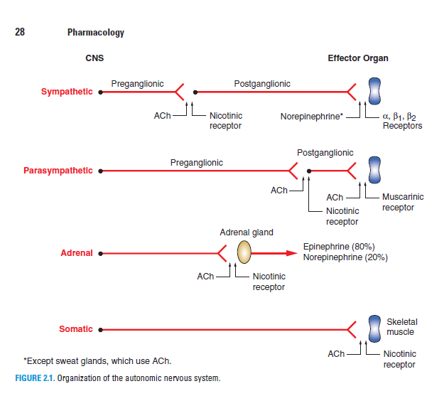 organization of the autonomic nervous system
