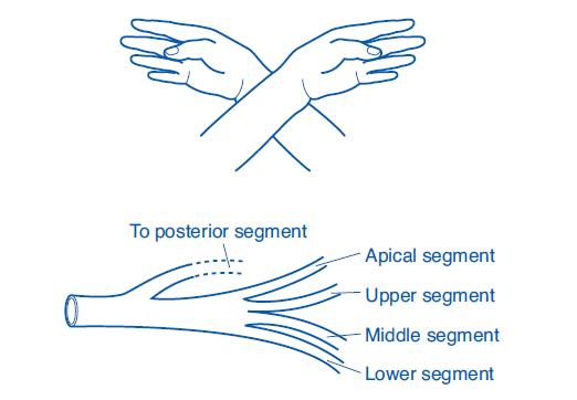 renal-artries