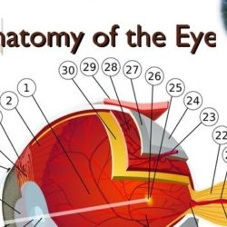 anatomy-of-the-eye