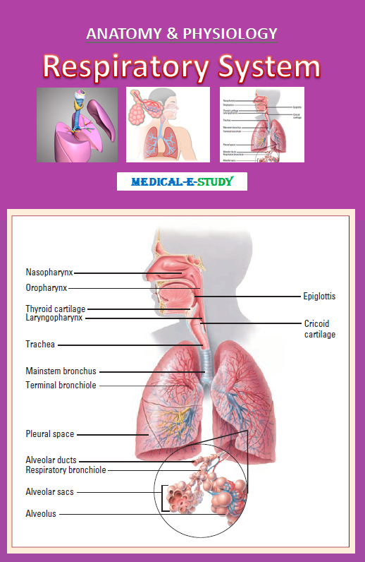 The Anatomy of the Respiratory System