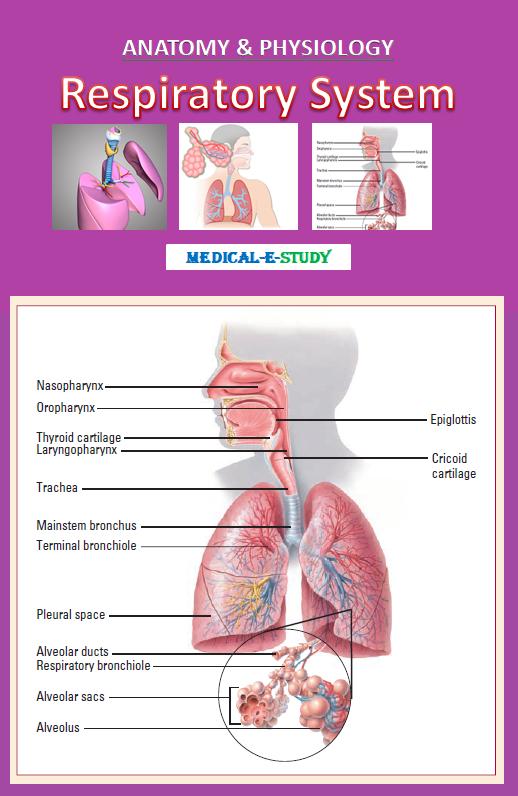 respiratory-system-2