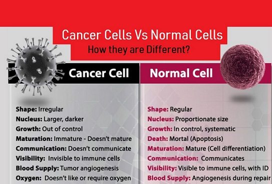 Image result for difference between cancer cell and normal cell