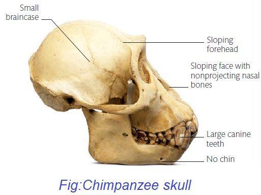 chimpanzee-skull