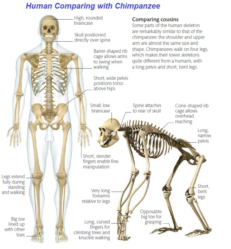 comparing-with-chimpanzee
