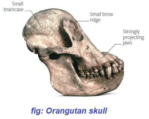 orangutan-skull