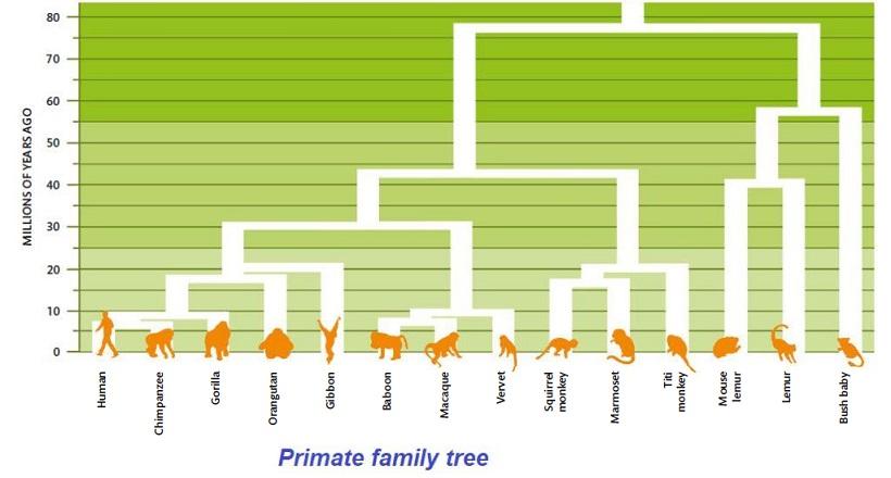 primate-family-tree